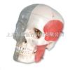 颅模型-透明与 骨颅结合,8部分