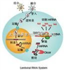 Lentifect™ 纯化与未纯化慢病毒颗粒